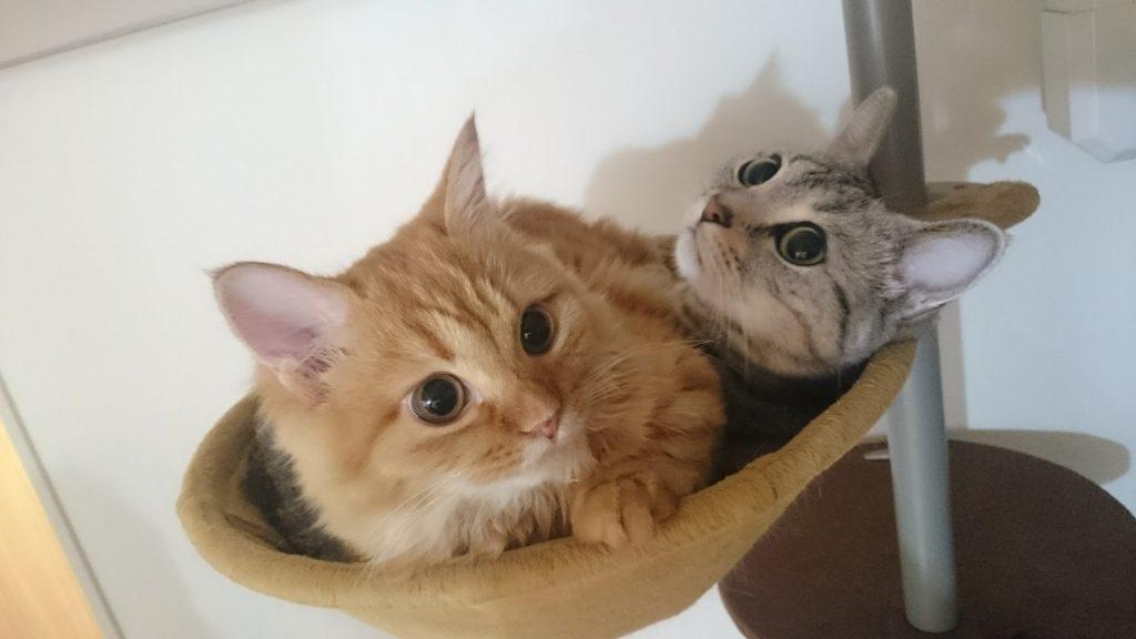 我が家の猫2匹(ともにマンチカン)