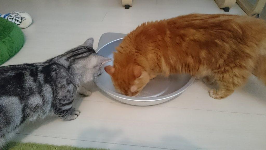 マルカンの「ひんやりクール 猫鍋(CT-417)」をチェックするきなこ。