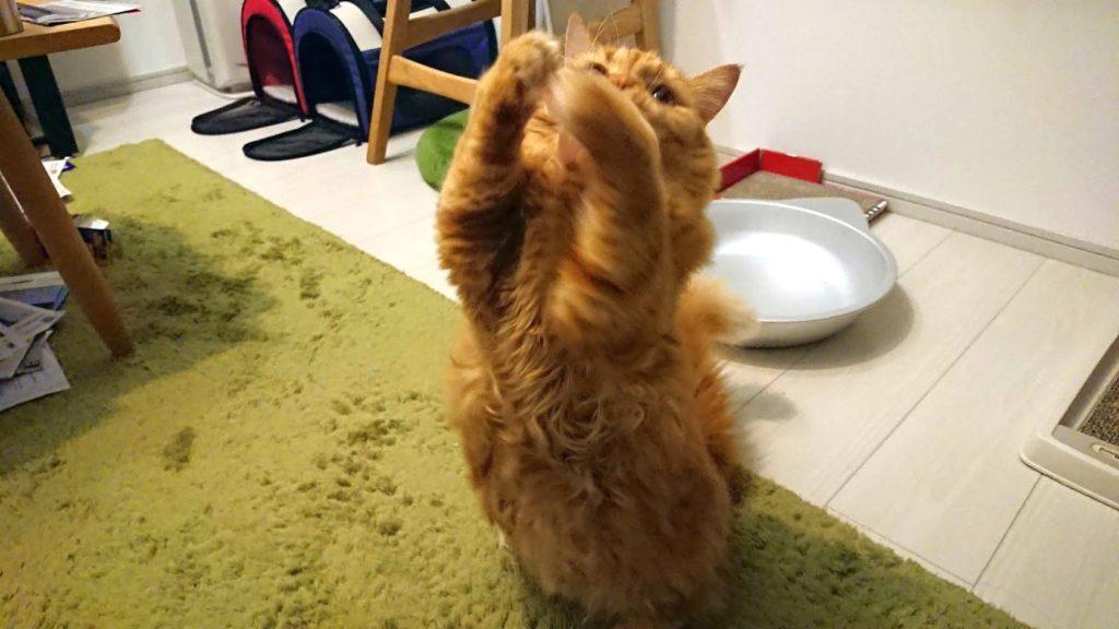 ペッツルート「シリコンかむにゃむ キンギョさん」で遊ぶ茶色。